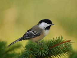 chickadee small