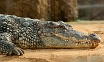 nile-crocodile-245013_150