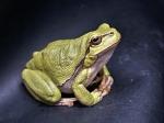 frog-111179_640