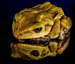 frog-204429_640