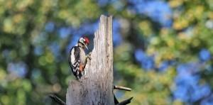 woodpecker-549484_640