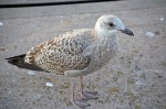 young-gull-235888_640
