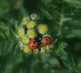 lady-bug-pair