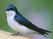 tree swallow perched